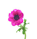Lilac anemone with curved stems isolated and leaves Stock Photography