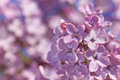 Lilac blossoming close up of at spring Stock Images