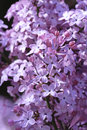 Lilac blossoms Royalty Free Stock Photo