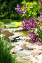Lilac in botanical to a garden Stock Image