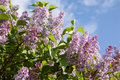 Lilac branch Royalty Free Stock Photos