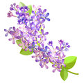 Lilac branch flowers of blooming spring Vector illustration