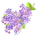 Lilac branch flowers blooming spring. Vector illustration