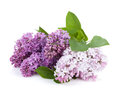 Lilac branch isolated on white background Royalty Free Stock Images