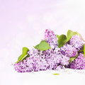 Lilac branch on a light background Royalty Free Stock Photo