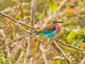 The Lilac-breasted Roller Royalty Free Stock Photo