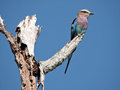 Lilac Breasted Roller bird Royalty Free Stock Photo