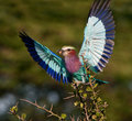 Lilac-breasted Roller with catch. Royalty Free Stock Photography