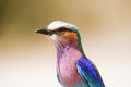 Lilac breasted roller in chobe riverfron riverfront botswana Royalty Free Stock Photography