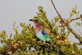 Lilac-breasted Roller Royalty Free Stock Photo