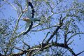 LILAC BREASTED ROLLER coracias caudata, ADULT IN FLIGHT, SOUTH AFRICA Royalty Free Stock Photo