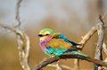 Lilac-Breasted Roller (Coracias caudata) Royalty Free Stock Photo
