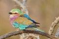 Lilac-breasted Roller (Coracias caudatus) Royalty Free Stock Photo