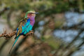 Lilac-breasted roller or Coracias caudatus Royalty Free Stock Photo