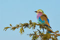 Lilac breasted roller perched on a branch of acacia in the kruger national park Royalty Free Stock Photos