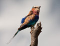 Lilac breasted roller sitting on a perch Royalty Free Stock Photography
