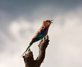 Lilac breasted roller sitting on a perch Royalty Free Stock Image