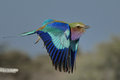 Lilac breasted roller take off Royalty Free Stock Photo