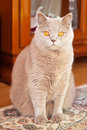 Lilac british cat beautiful sitting on a carpet Stock Photos