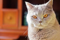 Lilac british cat with orange eyes close up beautiful big Stock Photo