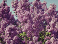 Lilac bush against the blue sky pink Royalty Free Stock Images