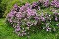 Lilac bush Royalty Free Stock Photo