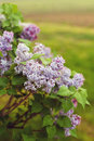 Lilac bush blooms on a Royalty Free Stock Photo