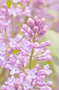 Lilac bush selective on a flowering branch of a purple Royalty Free Stock Photo