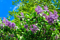 Lilac bush spring Royalty Free Stock Photo
