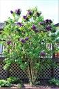 Lilac Bush, Syringa Vulgaris, blossomed with vibrant flowers