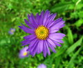 Lilac chamomile. Royalty Free Stock Photo