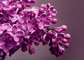 Lilac closeup in spring season Stock Images