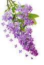 Lilac Cluster Royalty Free Stock Photo