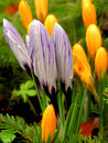 Lilac crocus shallow DOF Royalty Free Stock Photos