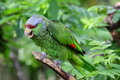 Lilac-crowned Amazon parrot Royalty Free Stock Photos