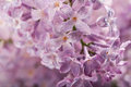 Lilac flower background Royalty Free Stock Photography