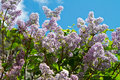 Lilac flower a on blue sky Stock Photography