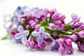 Lilac flower cluster Royalty Free Stock Images