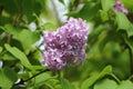 Lilac Flower In A Garden