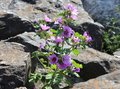 Lilac flower on the rock in dublin bull island Royalty Free Stock Image