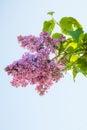 Lilac flower, Syringa vulgaris Royalty Free Stock Photo