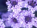 Photo : Lilac flowers and making with