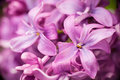 Lilac flowers abstract background Royalty Free Stock Photo