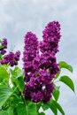 Lilac flowers on a background of a cloudy sky. Royalty Free Stock Photo