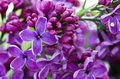 Lilac Flowers.