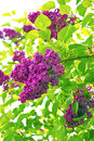 Lilac flowers branch of syringa tree with large panicle of purple Royalty Free Stock Images
