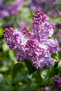 Lilac flowers with green leaves in sunny spring da Stock Photo