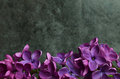 Lilac flowers macro composition frame purple pink syringa vulgaris or common close up Royalty Free Stock Image