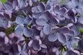 Lilac flowers macro composition purple pink syringa vulgaris or common close up Royalty Free Stock Photos