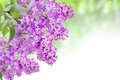 Lilac on the green background Royalty Free Stock Image